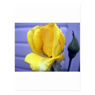 Rodebud amarillo postal