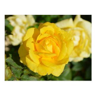 Rosa amarillo hermoso postales