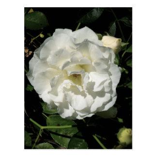 Rosa blanco inocente postal