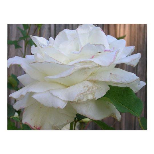 Rosa blanco postal