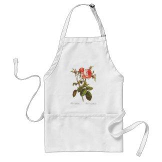 Rosa Centifolia Foliacea Delantal