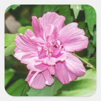 Rosa del pegatina de la floración de Sharon