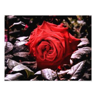 rosa rojo impresiones fotográficas