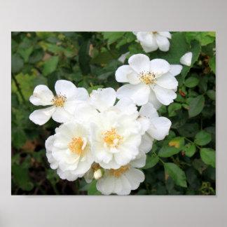 Rosas blancos 9158 póster