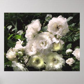 Rosas blancos póster