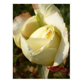 Rosas blancos románticos de CricketDiane del Postal