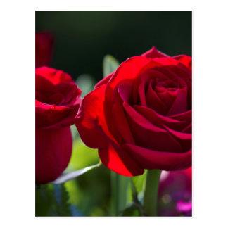 Rosas rojos románticos vibrantes postal