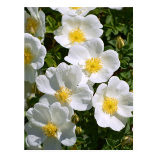 Rosas salvajes blancos postal