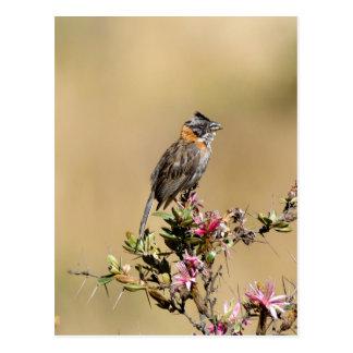 Rufous-collared Sparrow (Zanotrichia capensis) Postal
