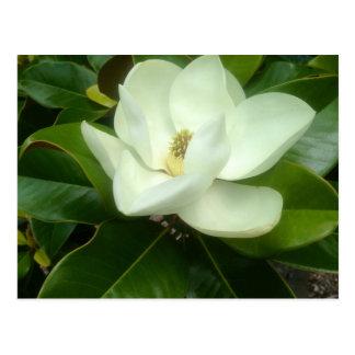 Sabana Georgia de la floración de la magnolia Postal