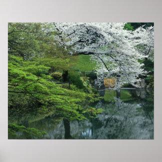 Sakura, jardín del Koraku-en de Koishikawa, Tokio, Póster