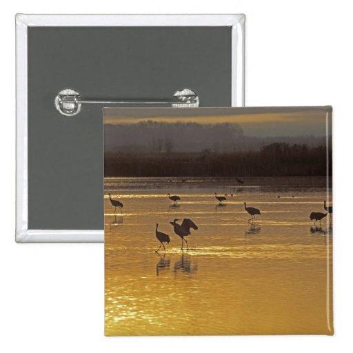 Sandhill Cranes el canadensis) del Grus Bosque Del Pins