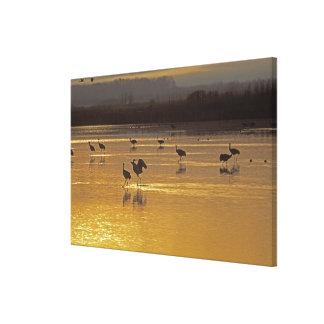 Sandhill Cranes el canadensis) del Grus Bosque Del Lona Estirada Galerías