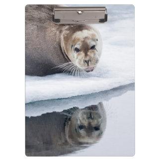 Sello barbudo en el hielo, Noruega