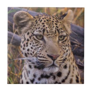 Sentada del leopardo, Botswana, África Azulejo Cuadrado Pequeño