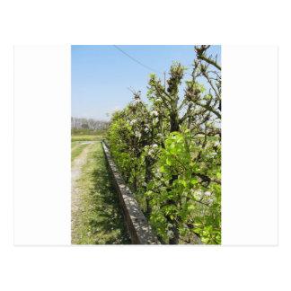 Seto verde de los manzanos de la pera y con el postal