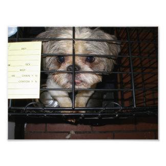 Shih Tzu que mira para arriba por dentro de jaula Impresión Fotográfica