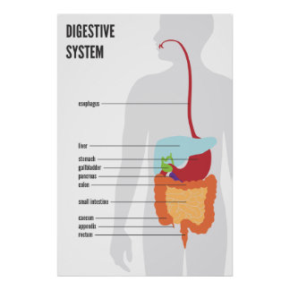 Sistema digestivo póster