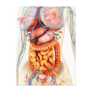 Sistema digestivo y circulatorio femenino impresión en lienzo estirada