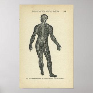 Sistema nervioso de la impresión de la anatomía de