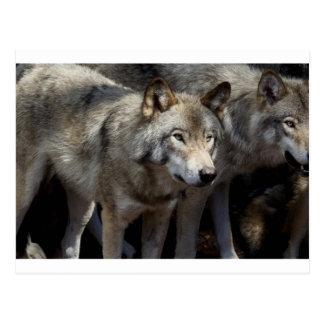 Situación del lobo gris postal