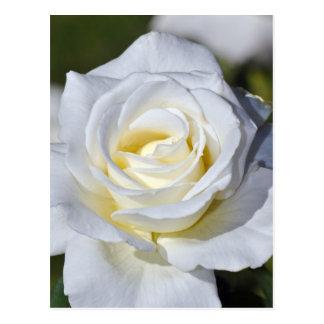 Solos flores del rosa blanco postal