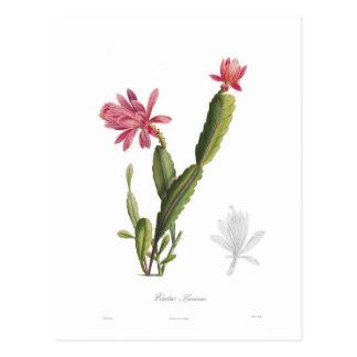 Speciosus del cactus postal