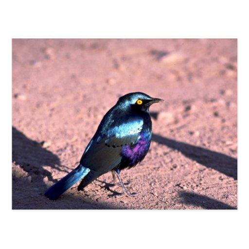Starling brillante Azul-Espigado Postales
