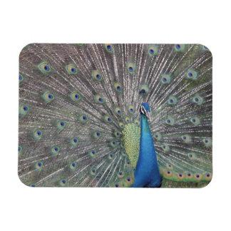 Suramérica, Venezuela, exhibición del pavo real Imán Rectangular