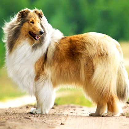 Collie Lovers