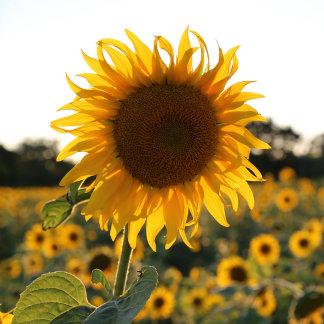 Sunflower garden.Beautiful flowers