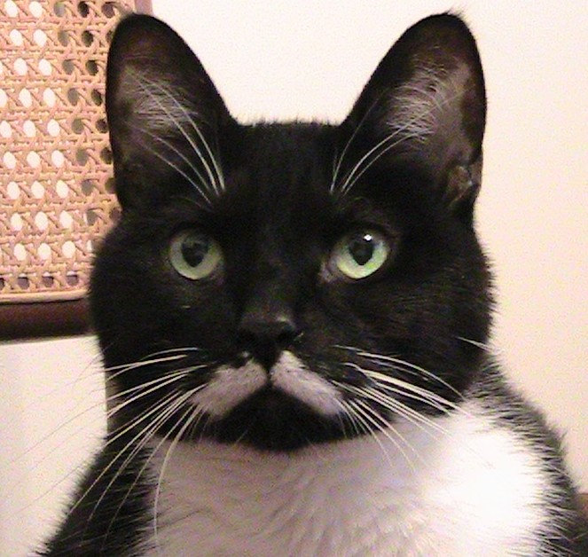 Tuxedo Cat ( with Moustache)