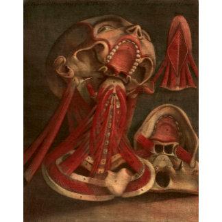 Vintage Anatomy Illustration   Head and Face