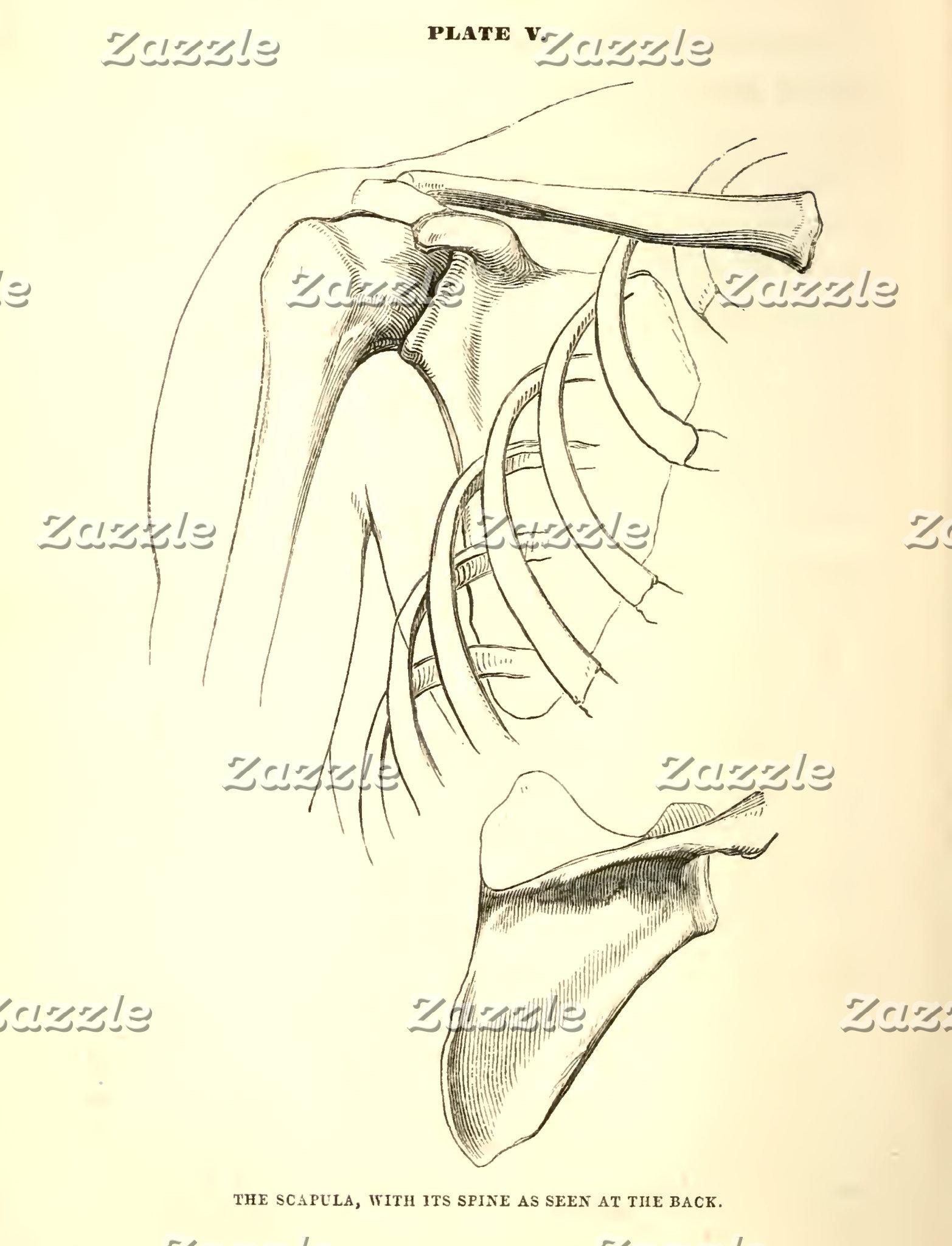Vintage Anatomy | Scapula