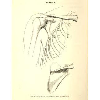 Vintage Anatomy   Scapula
