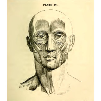 Vintage Anatomy   Muscles of the Face