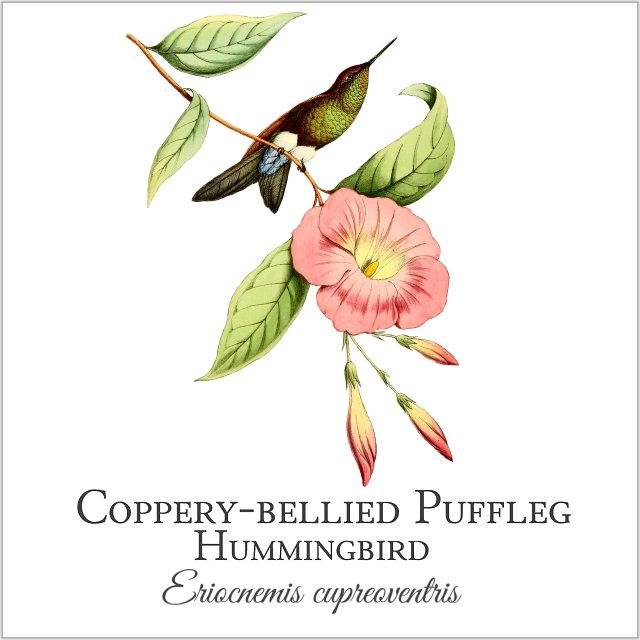 Coppery-bellied Puffleg