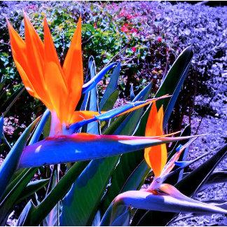 Bird-of-Paradise Hawaii