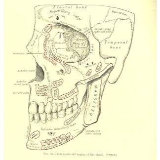 Vintage Anatomy Anterolateral region of the skull