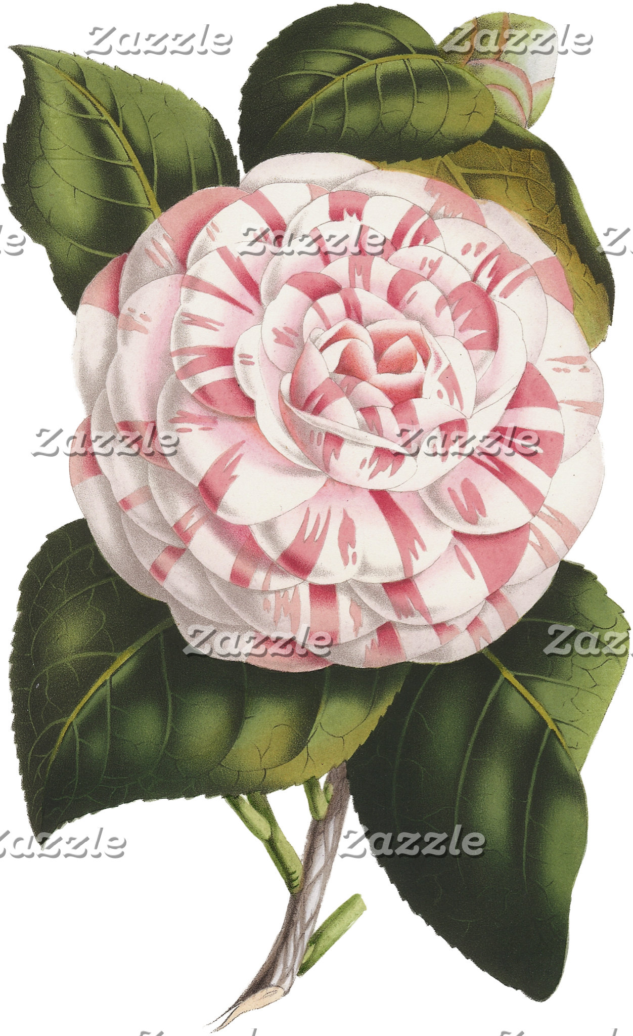 Vintage Camellias