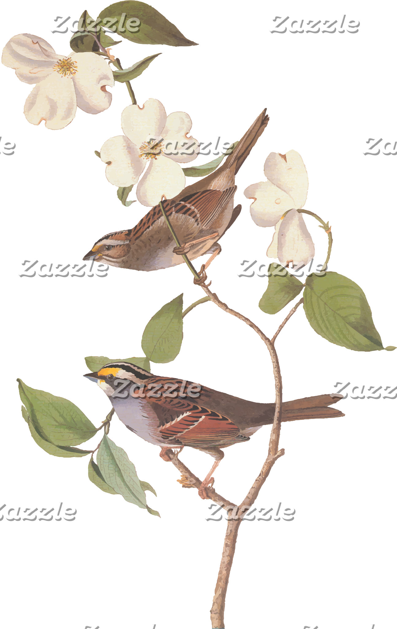 White Throated Sparrow (Plate 8)