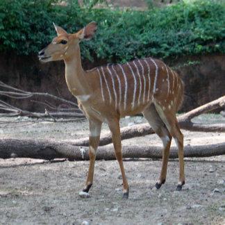 Lesser Kudu
