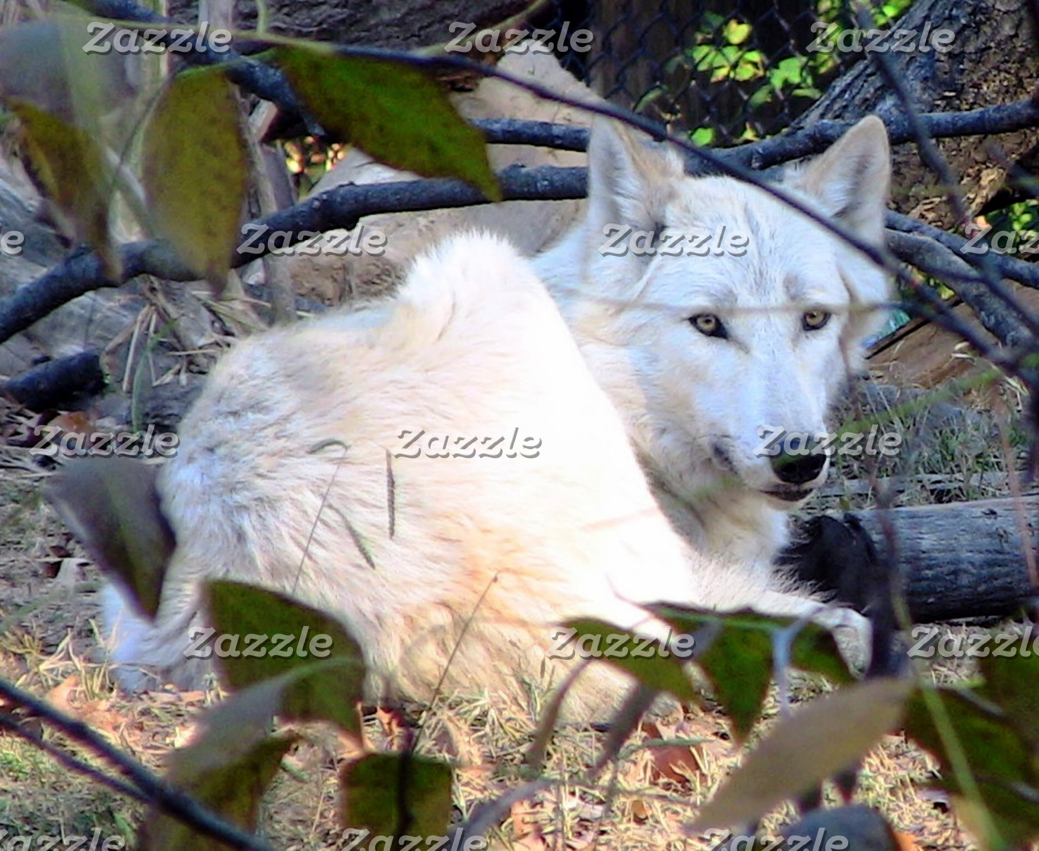 A Gray Wolf ~ Resting