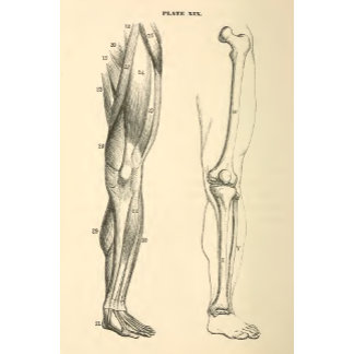 Vintage Anatomy     Muscles and Bones of the Leg