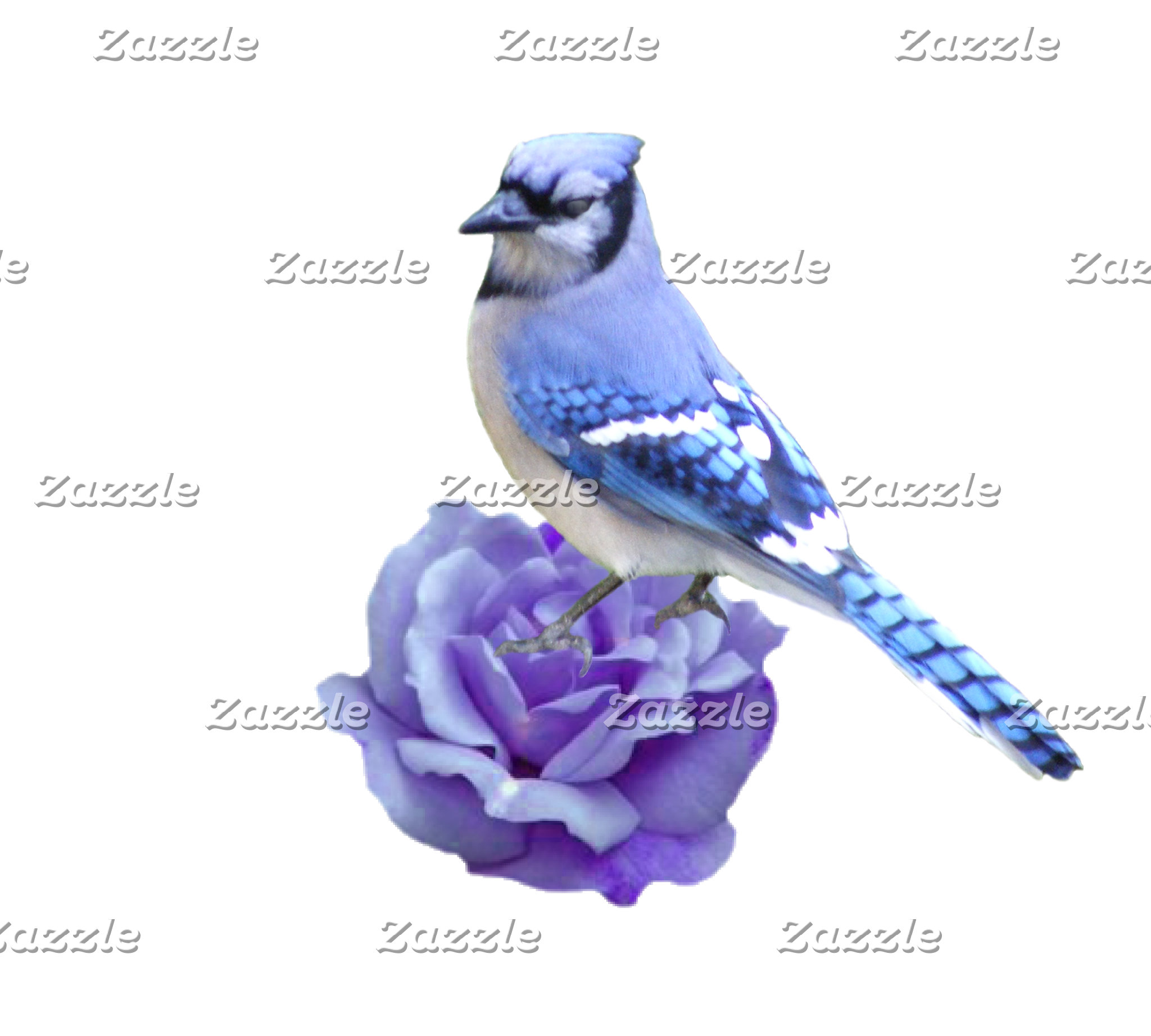 Blue Jay on Rose