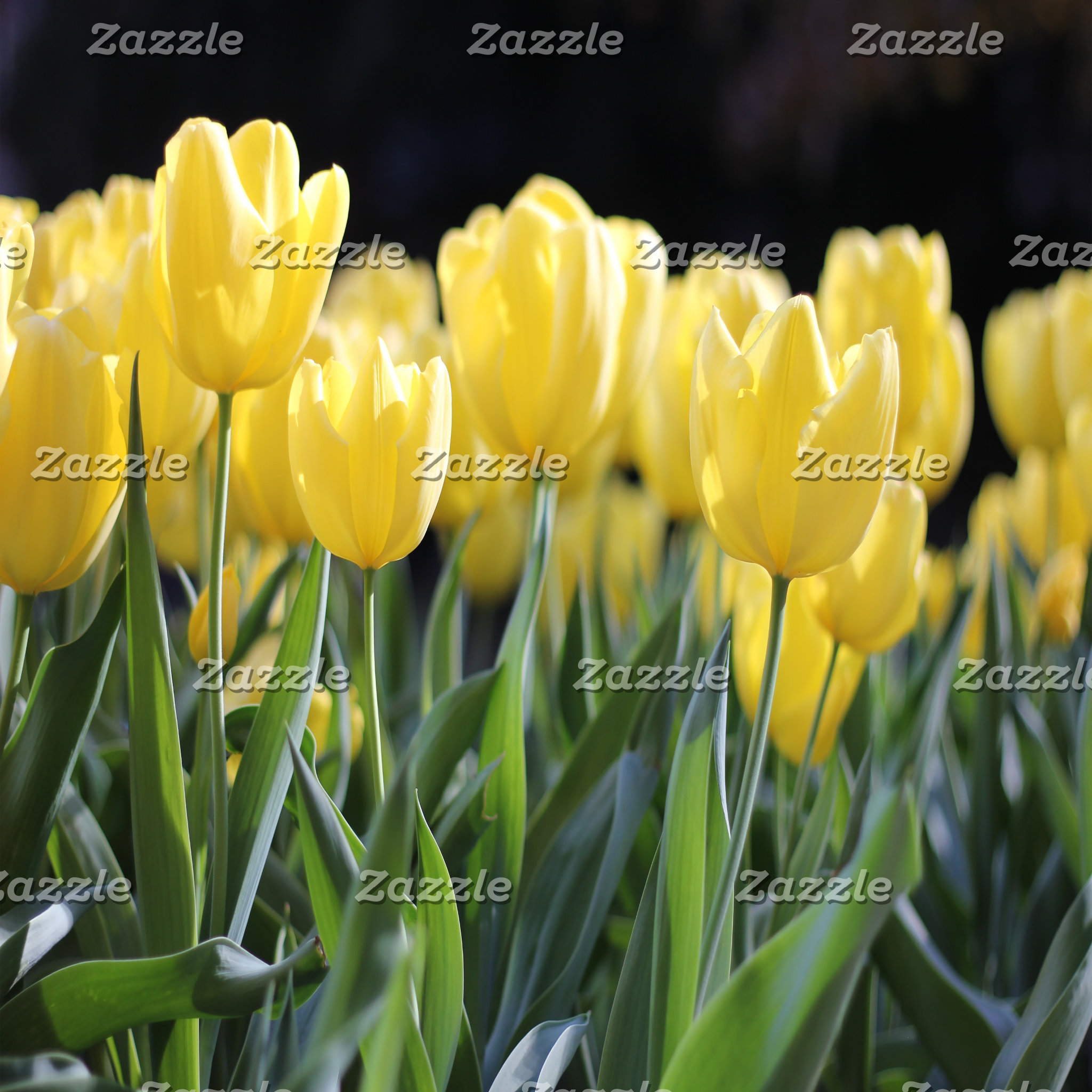 Blooming Yellow Tulips