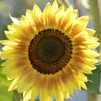 Big Yellow Sunflower