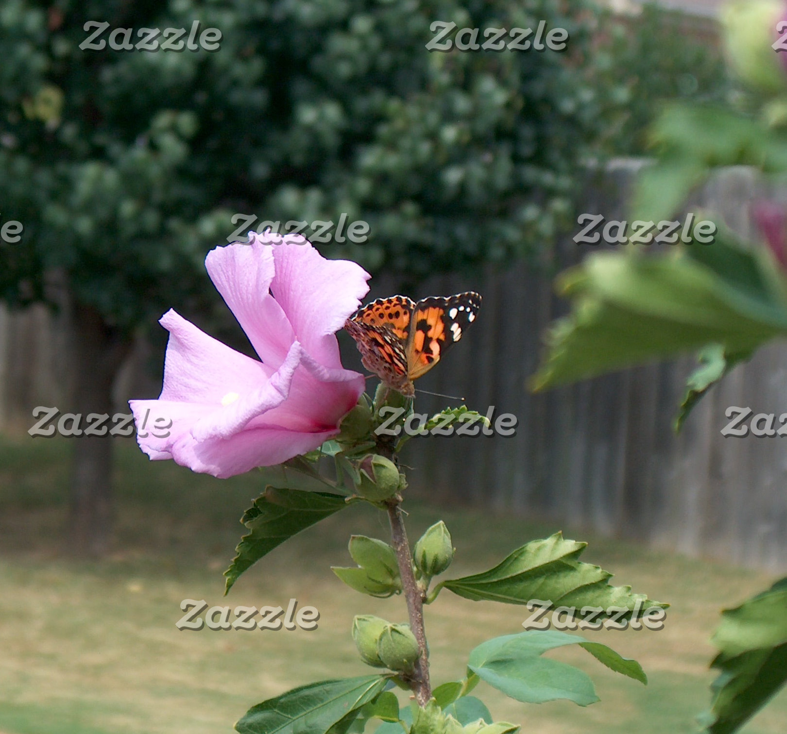 A Butterfly on Rose of Sharon