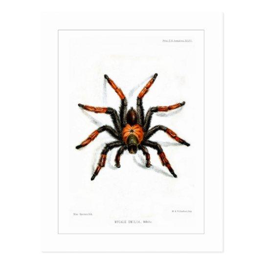 Tarantula rojo mexicano de la pierna postal
