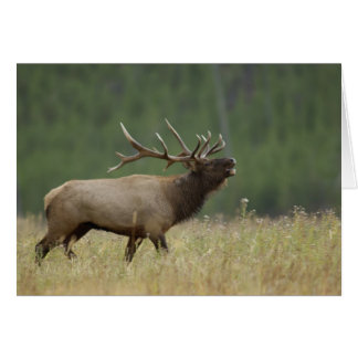 Tarjeta Alces bugling, Yellowstone NP, Wyoming de Bull